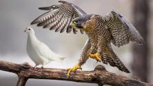 Hawk_vs_dove