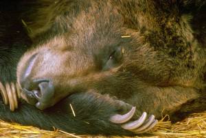 hibernating_bear_-_google_search