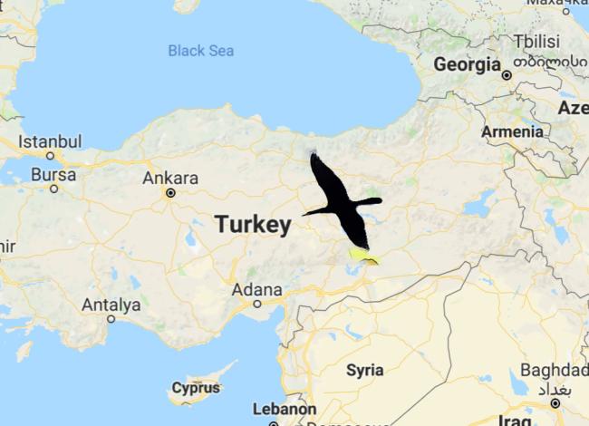Turkey Swan pic