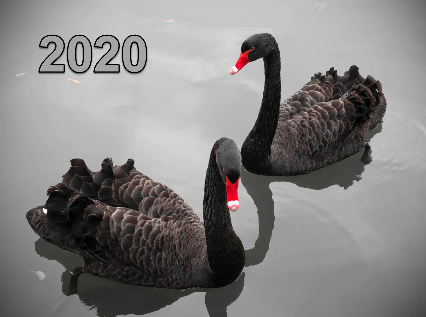 black-swan-2020
